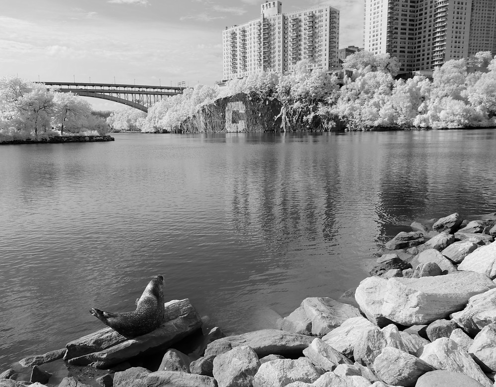 "Harbor Seal (""Sealy"") at Inwood Hill Park (Manhattan), 6 Aug 2019 in Infra-red Black-and-white"