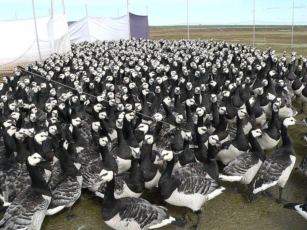 Barnacle Geese on the island of Islay off the west coast of Scotland about to be banded