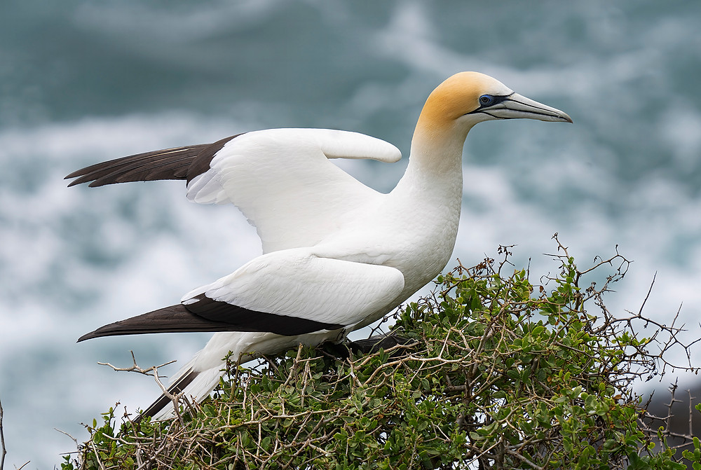 Australasian Gannet at the Muriwai Nesting Colony near Auckland (New Zealand on North Island) on 15 December 2019