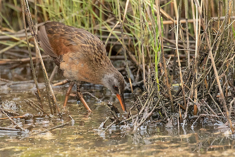 Virginia Rail by Deborah Allen in June 2019 in Pelham Bay Park in the Bronx