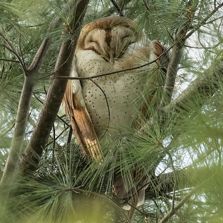 Barn Owl atop Pine Hill by Deborah Allen in Central Park, 11 April 2018