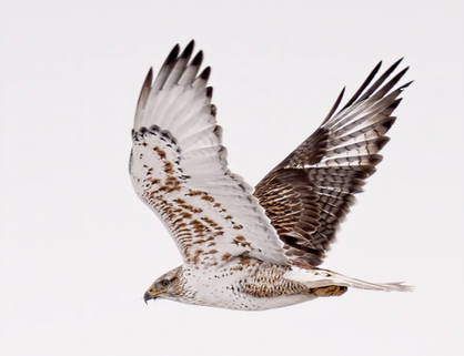 Ferruginous Hawk (Adult)