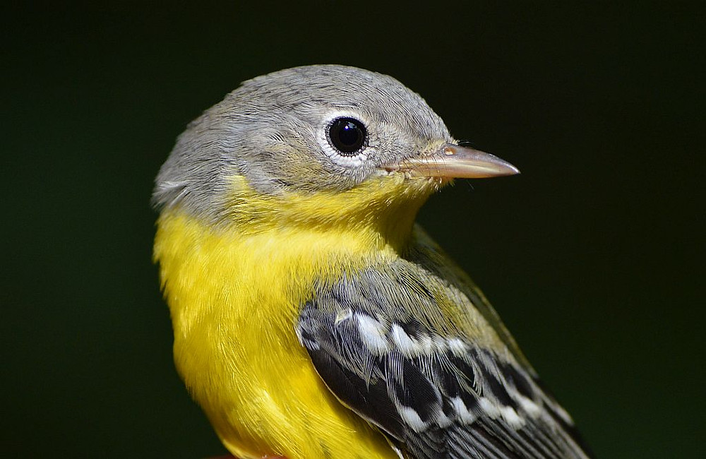 Juvenile Magnolia Warbler in Michigan in August 2019 by Doug Leffler