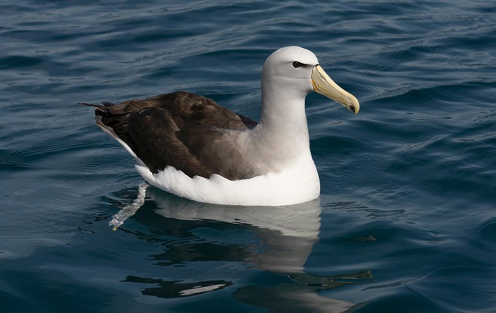 Salvin's Albatross at Kaikoura Bay (South Island [East Coast] New Zealand) on Friday, 22 November 2019