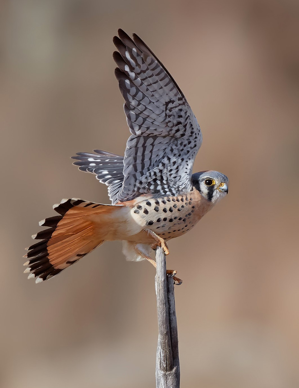 American Kestrel [Sparrowhawk] at Pelham Bay Park, Bronx in December 2018