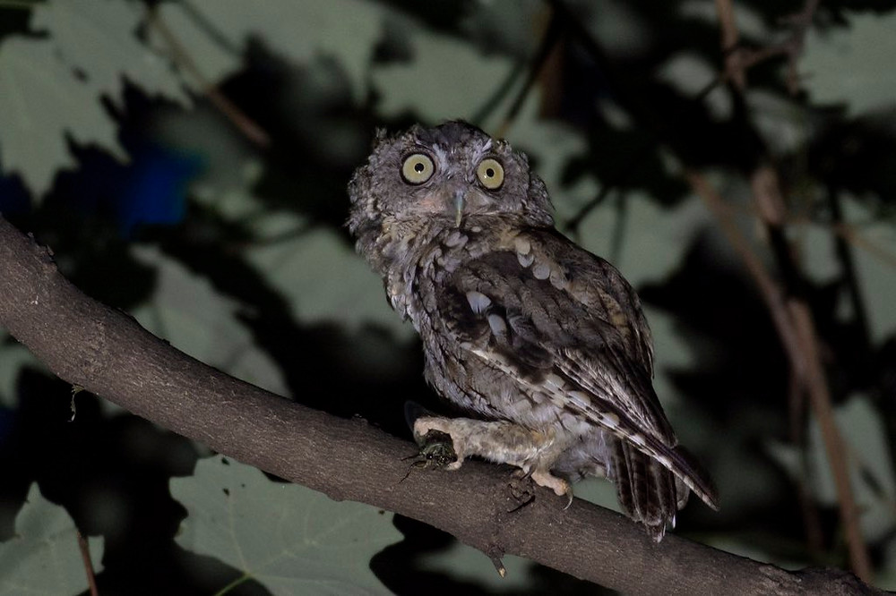 Eastern Screech-owl holding a cicada at Inwood Hill Pak (Manhattan) on 6 August by Christopher Wilhelmi