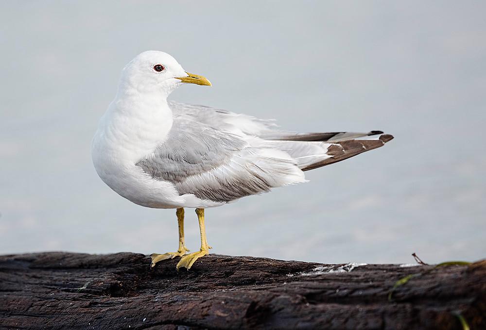 Mew Gull, Washington State (Blaine) in February 2016