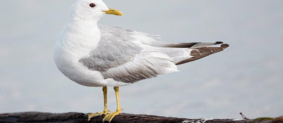Gulls, Gulls, Gulls +++ a new leader of the bird walks!