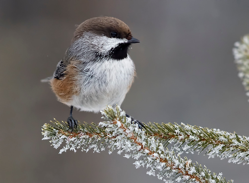 Boreal [Brown-capped] Chickadee at Sax-Zim Bog, Minnesota on 15 January 2019