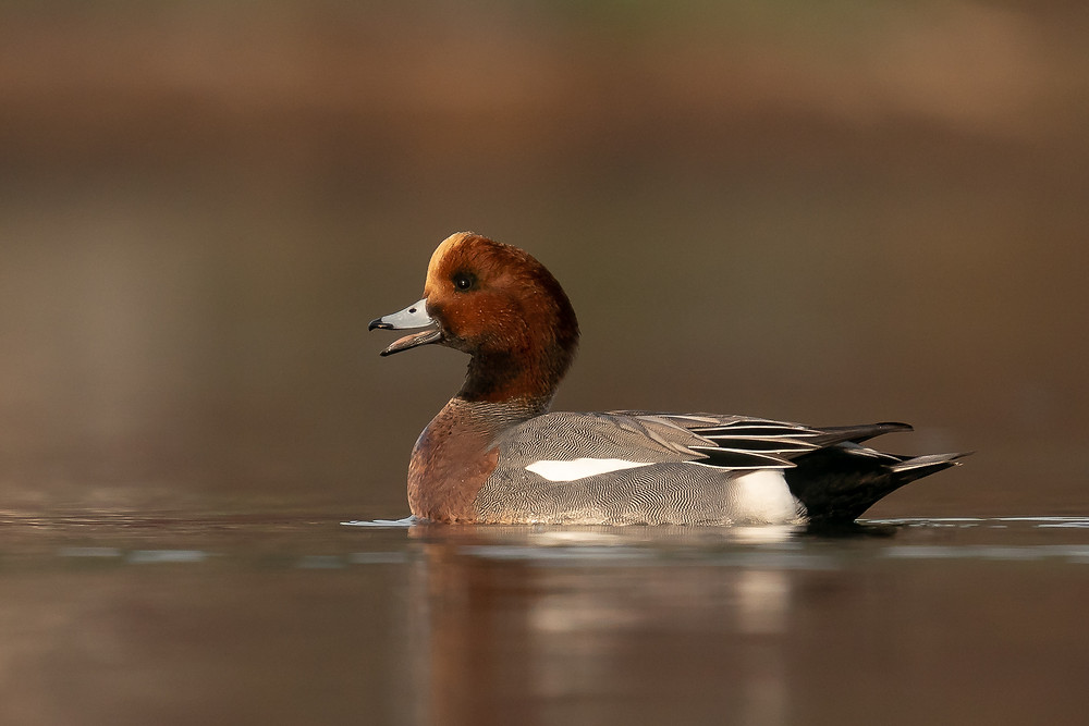 Eurasian Wigeon in December 2018
