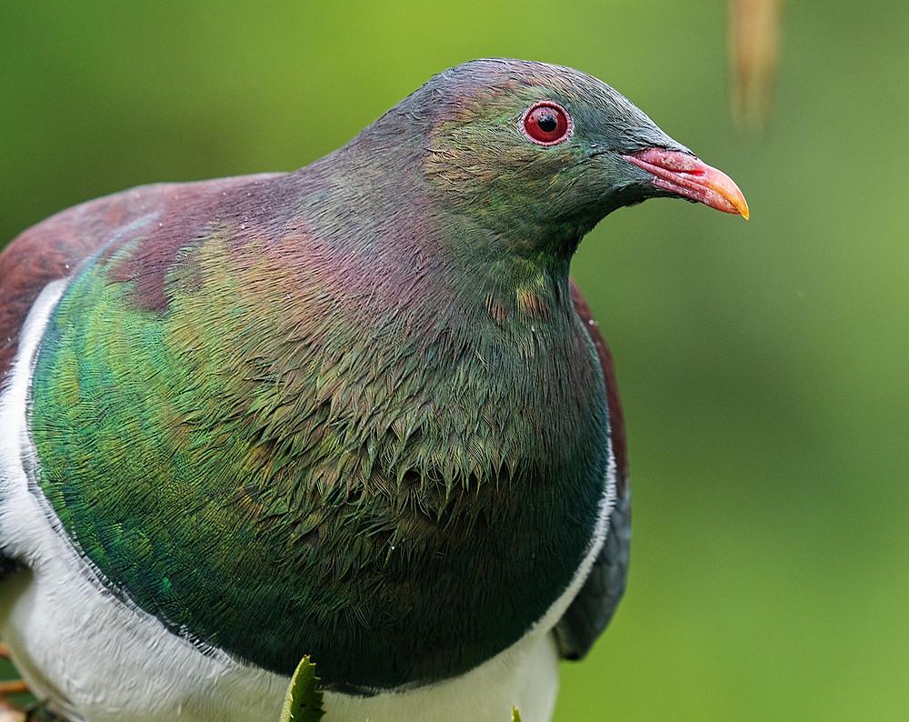 New Zealand Pigeon on Stewart Island (southern New Zealand) on 1 December 2019