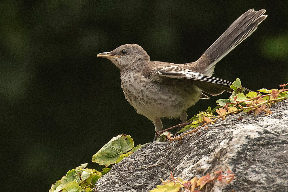 Juvenile Northern Mockingbird, The Pond (Central Park), Saturday August 17, 2019 by Deborah Allen