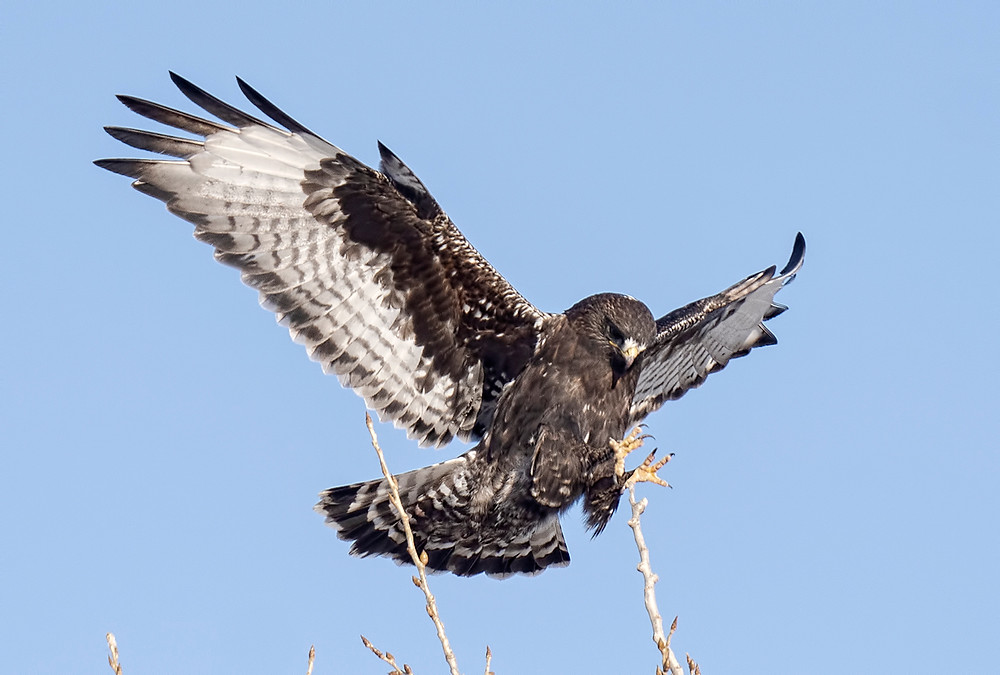 Rough-legged Hawk (dark morph) at Ft. Pierre National Grasslands (South Dakota) on 6 February 2020