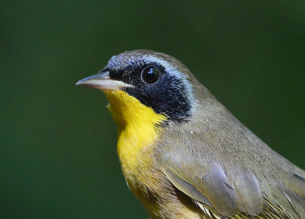 male Common Yellowthroat by Deborah Allen