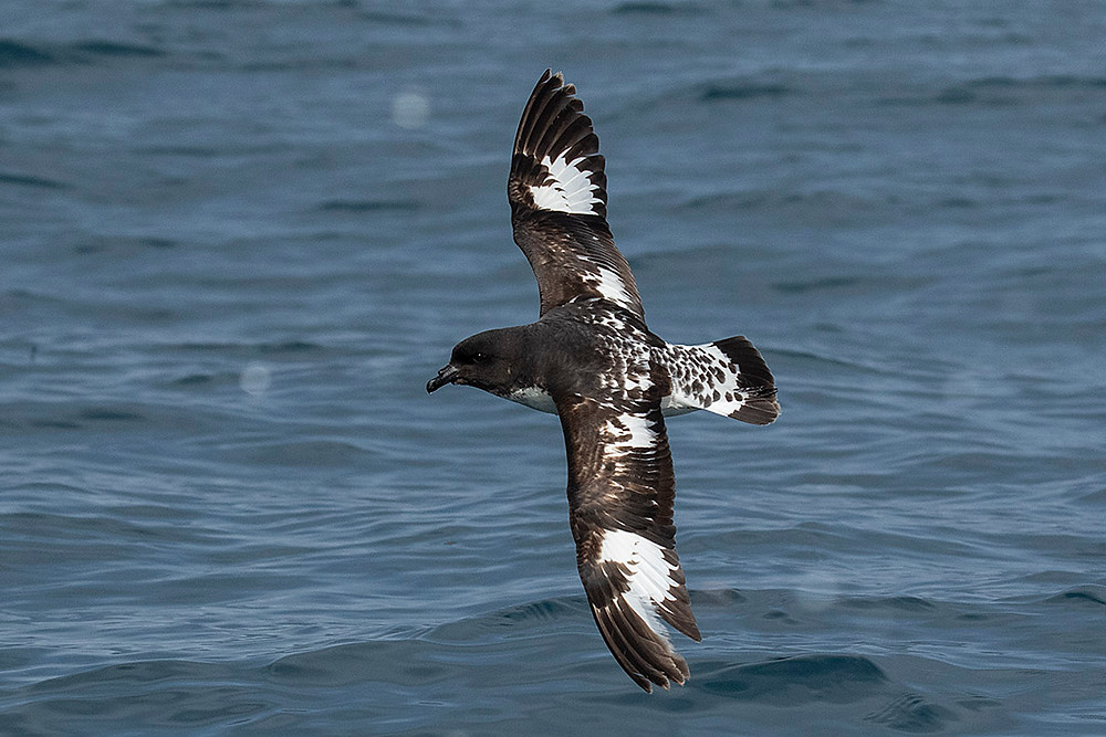Cape (Pintado) Petrel by Deborah Allen at Kaikoura (New Zealand), 22 November 2019