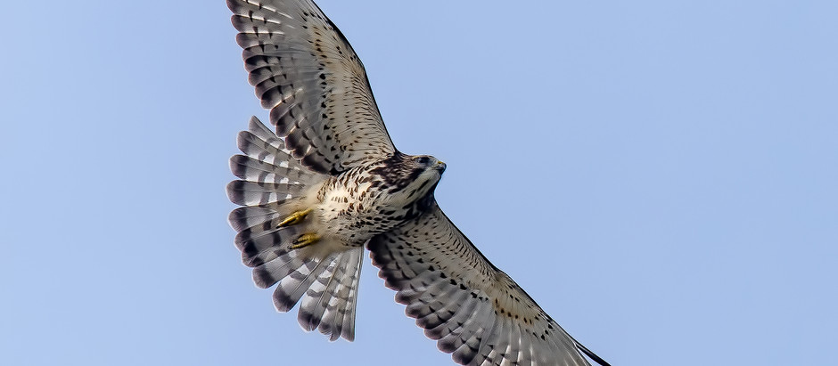 Big Birds (Raptors!) Migrating Over NYC: Broad-winged Hawks, Eagles and Falcons