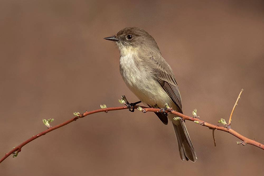 Eastern Phoebe in Central Park (Maintenance Field) by Deborah Allen on 6 April 2019