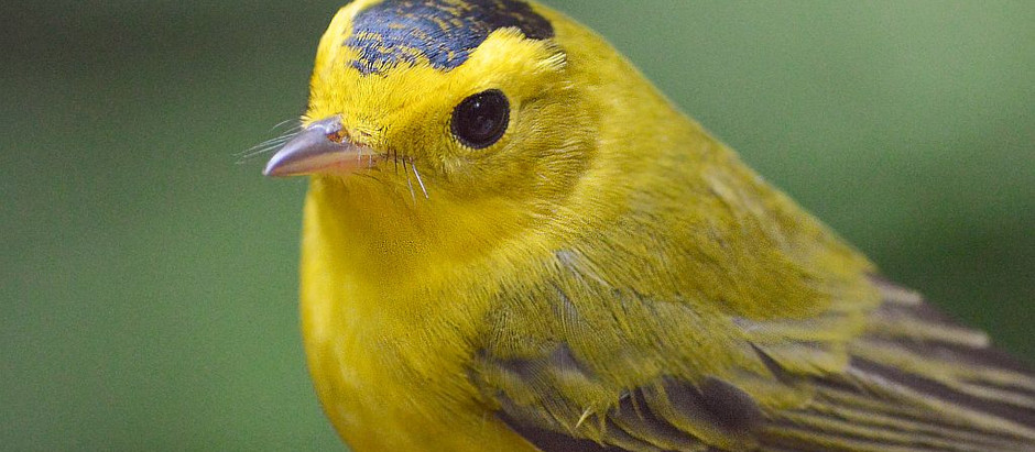 The Continuing Warbler Storm - don't miss them in Central Park! Now is the peak of migration.