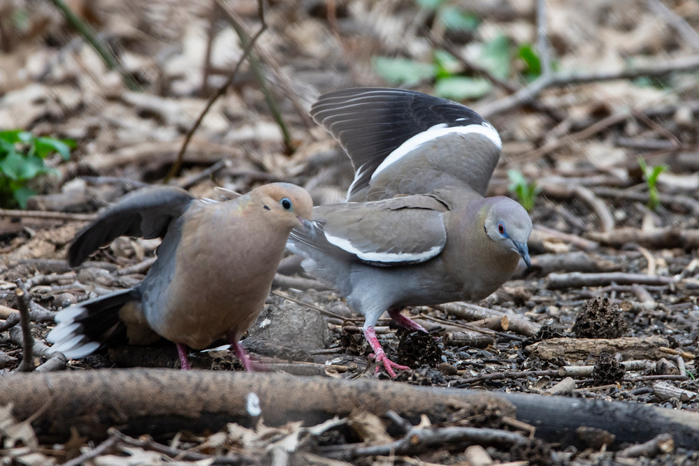 Mourning Dove (left) and White-winged Dove on 14 April 2019 by Sandra Critelli
