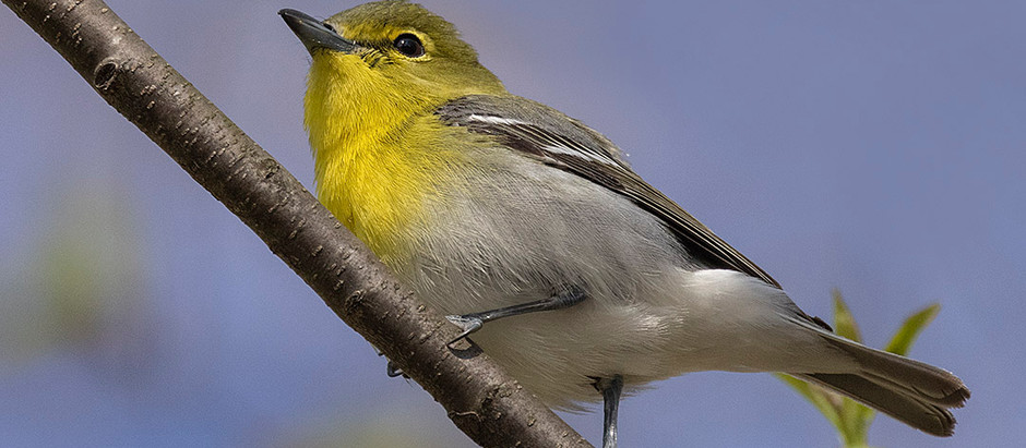 Migrants: WARBLERS Migrants: VIREOS Migrants: SPARROWS Migrants: BIRDS!