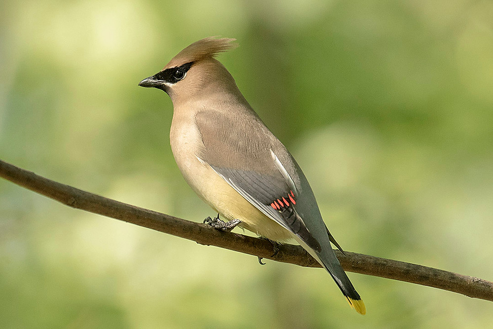 Cedar Waxwing adult by Deborah Allen on 18 May 2018 (Central Park)
