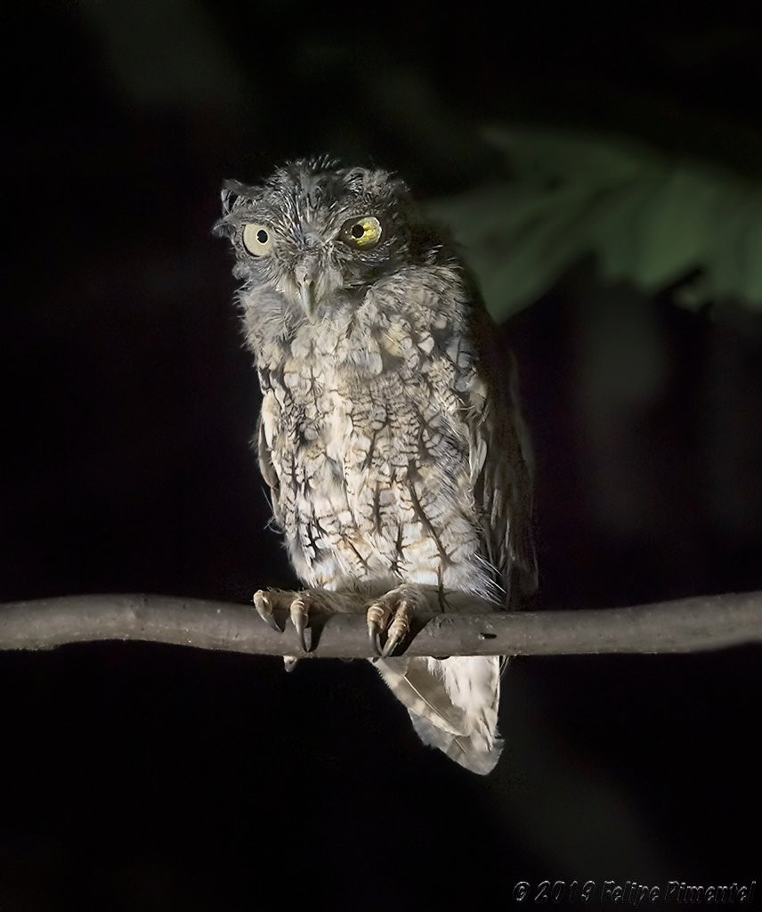 Eastern Screech-owl at Inwood Hill Park, Manhattan on Thursday evening 15 August by Felipe Pimentel PhD