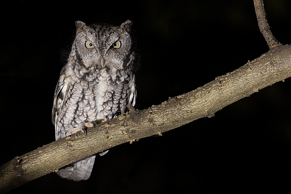 grey-morph Eastern Screech-owl by Deborah Allen at Inwood Hill Park (Manhattan) on 10 November 2019 (Sunday Night Owl Walk)