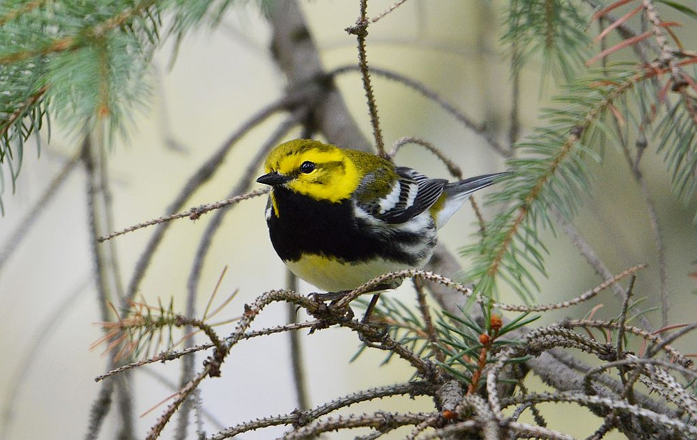 Black-throated Green Warbler by Doug Leffler on 10 May 2019