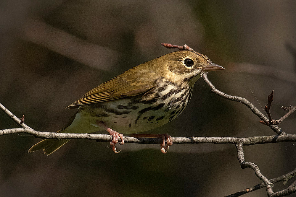 Ovenbird, Ramble (Central Park), Saturday 21 September 2019 by Deborah Allen