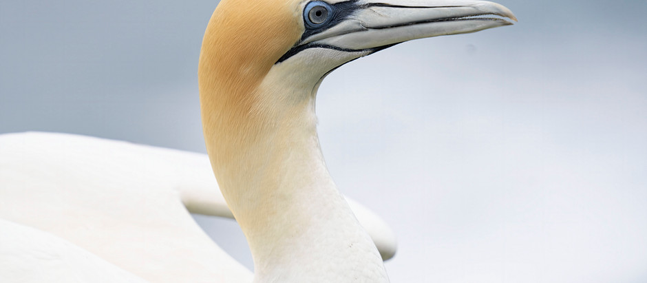 GANNETS of New Zealand + Central Park Birding