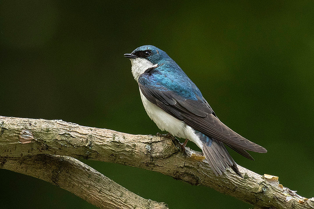 male Tree Swallow by Deborah Allen on 8 June 2019 at Turtle Pond Central Park