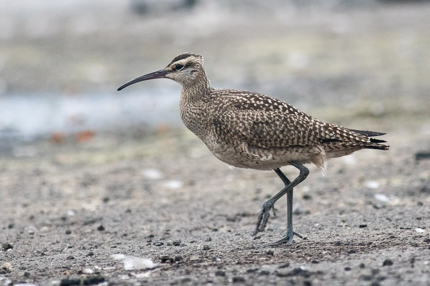 Whimbrel photographed by Jack Rothman