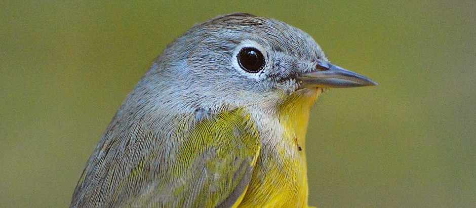 Warblers (four) and Hammond's Flycatcher: a great December Sunday in Central Park