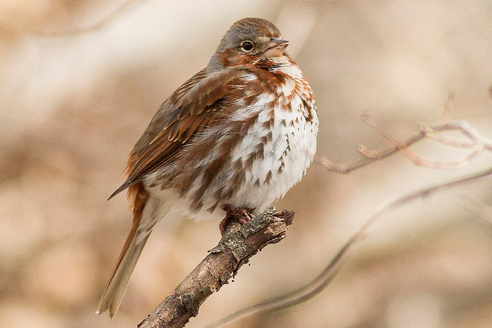 Fox Sparrow (14 March 2013/Central Park) - Deborah Allen