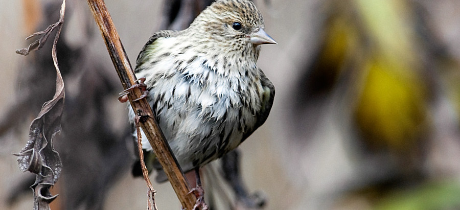 INVASION! Grosbeaks, Siskins, Crossbills  heading to Central Park