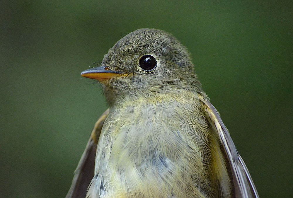 Yellow-bellied Flycatcher (Michigan) by Doug Leffler on 16 Sep 2019