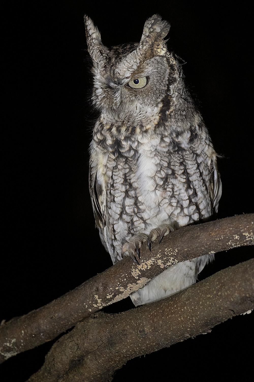 Eastern Screech-owl by Deborah Allen at Inwood Hill Park (northern Manhattan) on 22 December 2019