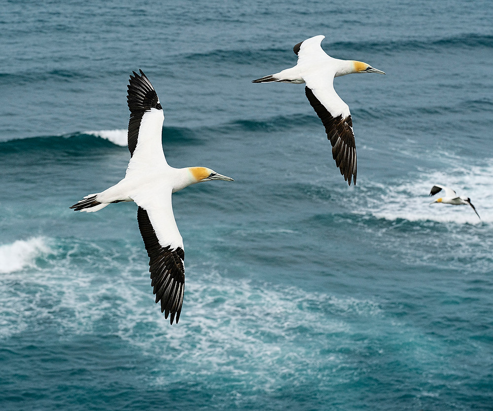 Australasian Gannets at the Muriwai Nest Colony on 16 December 2019 (near downtown Auckland, North Island) November 2019 near Stewart Island, New Zealand