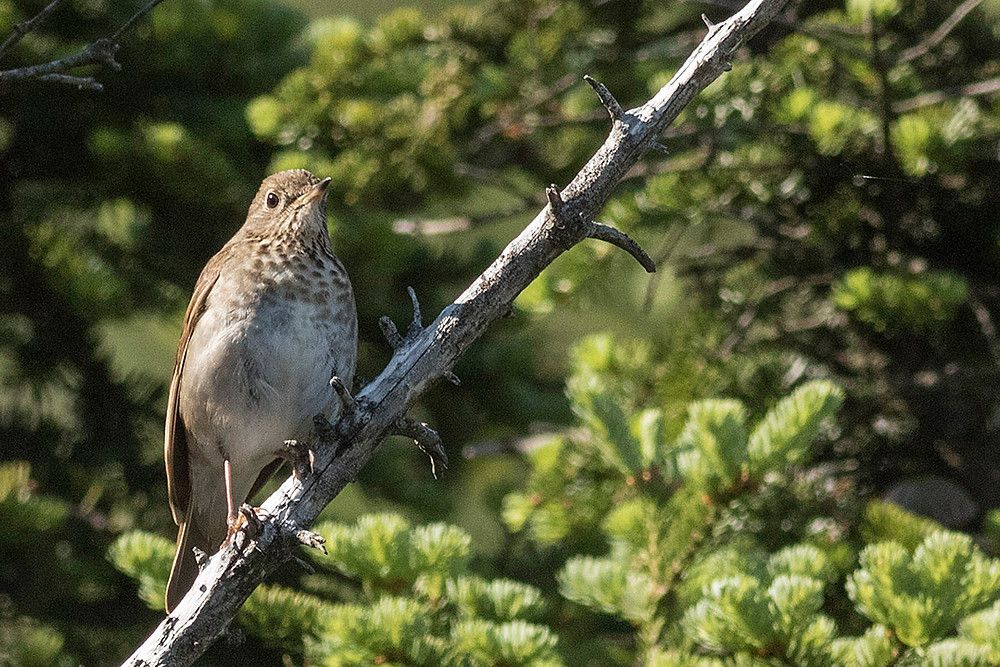 Bicknell's Thrush on 3 July 2015 on Whiteface Mountain NYState by Deborah Allen