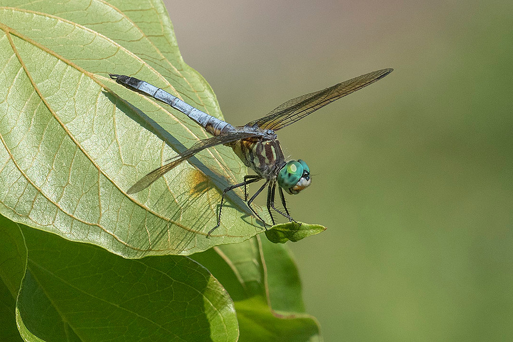 Blue Dasher Dragonfly (Male) on 4 August 2019 by Deborah Allen