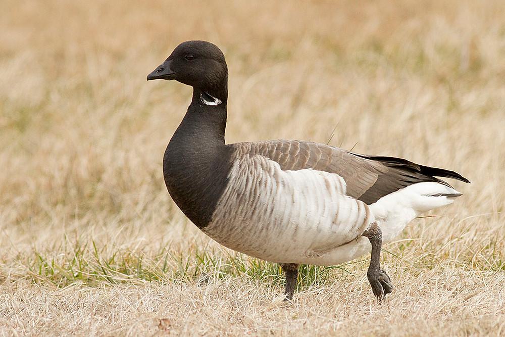 adult Brant Goose by Deborah Allen, Adult Brant in late February 2015, Floyd Bennett Field, Brooklyn