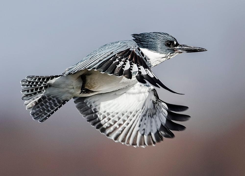 male Belted Kingfisher in flight March 2014, Washington state near Blaine