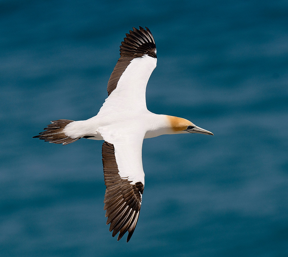 Cape Gannet (note tail pattern) at the Muriwai Nest Colony on the North Island on 15 December 2019