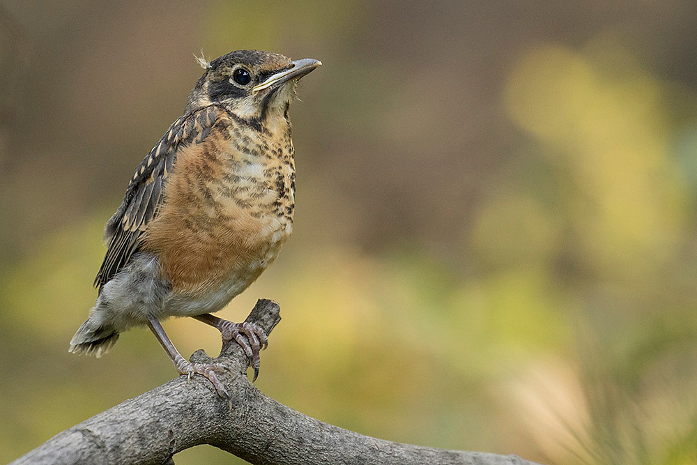 Young American Robin just out of the nest by Deborah Allen on 7 July in Central Park