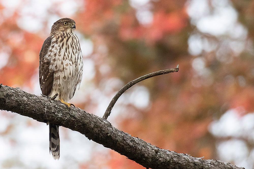 Hatch-year male Cooper's Hawk by Deborah Allen in Shakespeare Garden (Central Park), 10 November 2019 (Sunday)