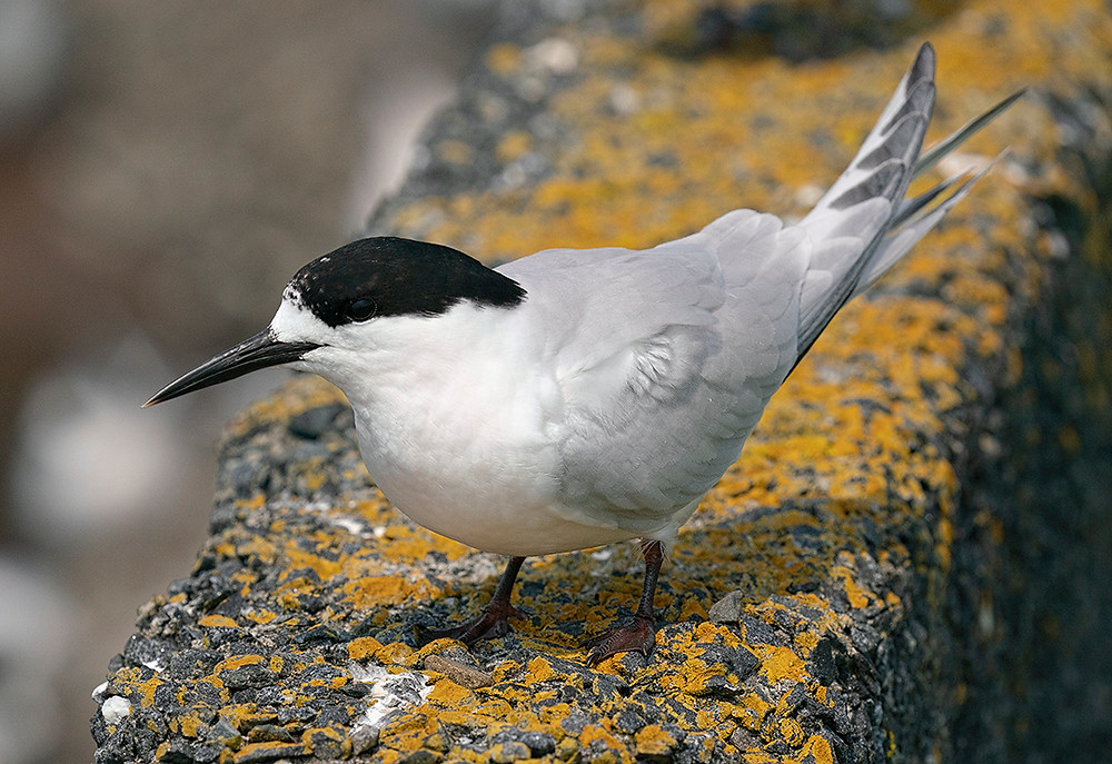 White-fronted Tern at Bluff, New Zealand (South Island) on 28 November 2019