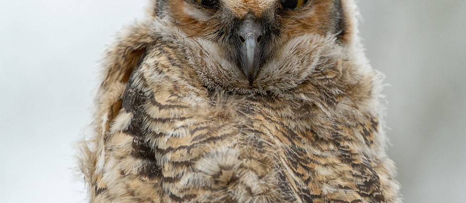 More NYC Owls: Bronx Great Horneds nesting (this Saturday 2/24) and Eastern Screech-owl update from