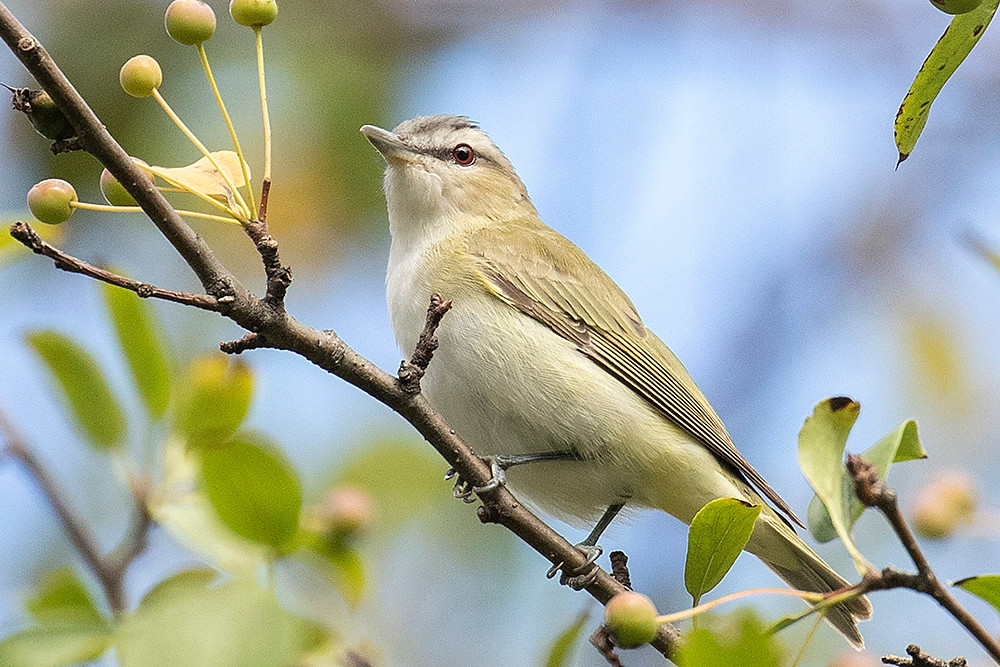 Once a common breeder in NYC Parks, the Red-eyed Vireo is uncommon as a nesting species (we estimate one pair per year in Central Park), but remains a very common migrant through the NYC region.