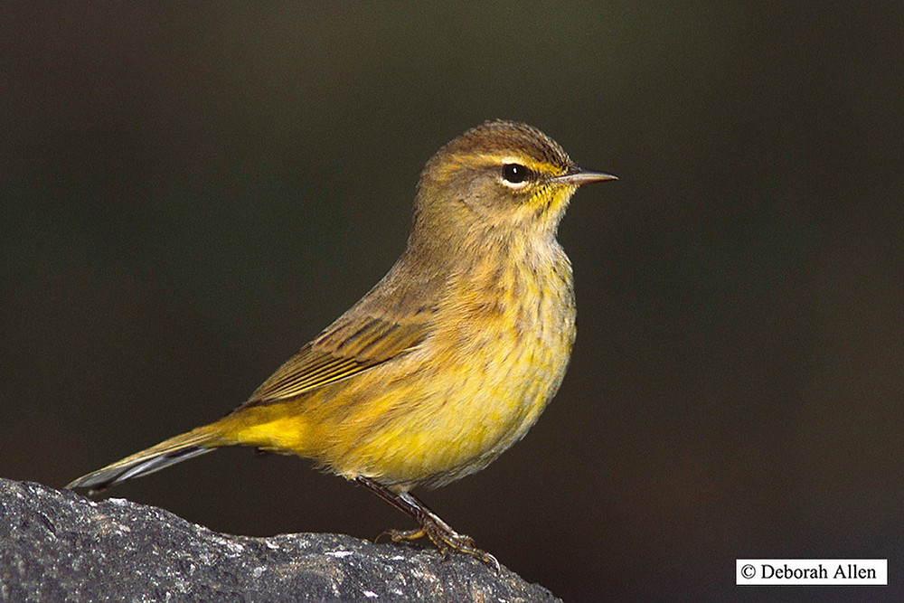 Palm Warbler ssp. hypochrysea in Central Park