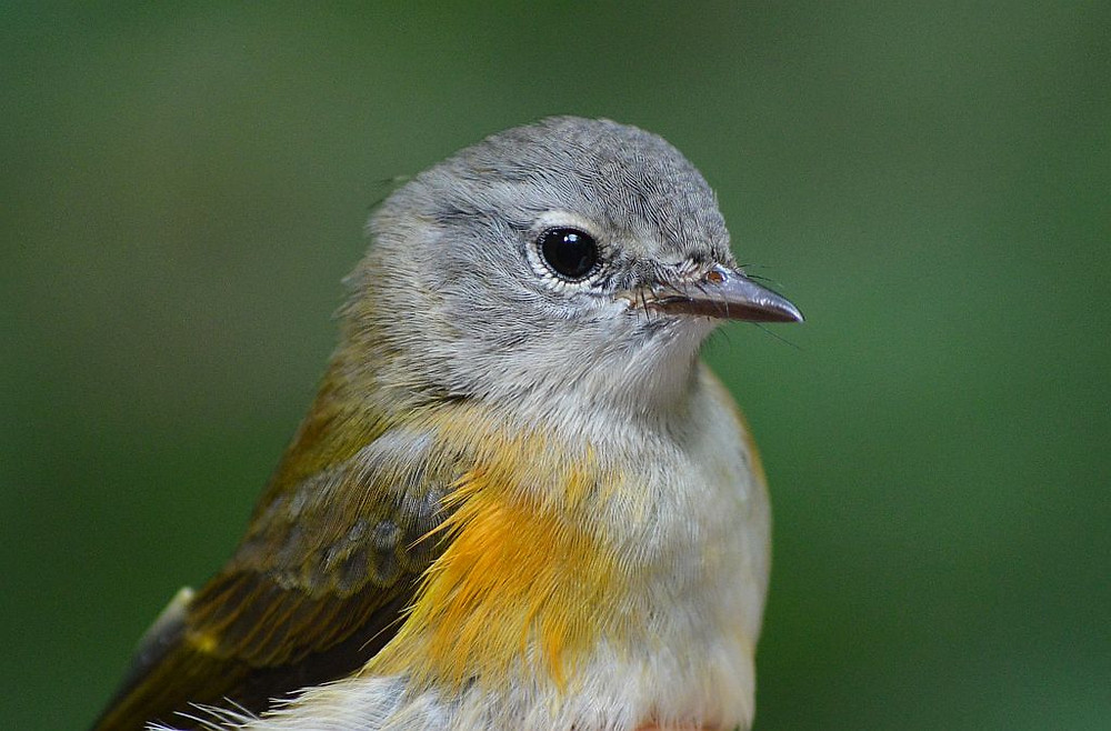American Redstart female in Michigan by Doug Leffler
